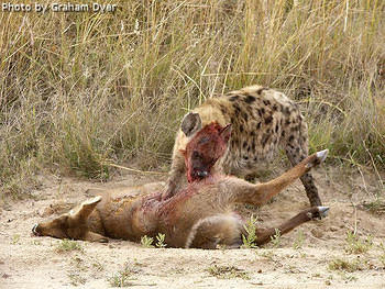 The leopard was chased off the kill by  3 hyena  photo Graham Dyer  SA