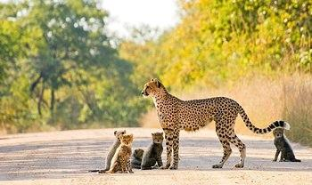 Female cheetah with 5 cubs taken on Mpondo Dam