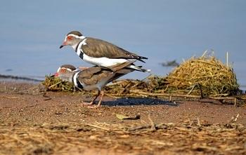 Three Banded Plovers mating taken at Sunset Dam