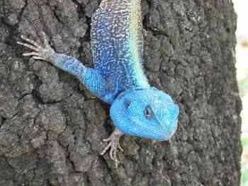 tree agama near Lower Sabie