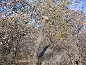 Curious ostrich, Kwaggasvlakte section