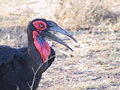 Southern Ground Hornbill (female)