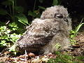 Spotted Eagle-Owl (Chick)