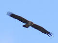 flying raptor ii also from Kruger