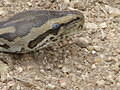 A python on the Doispan AITG weekend
