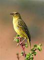 Cape Weaver (Female)