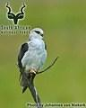GGHNP - Wildlife - Black-shouldered Kite
