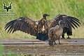 Kruger - Bird - White-backed Vulture