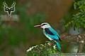 Kruger - Bird - Woodland Kingfisher