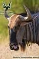 Kruger - Wildlife - Blue Wildebeest