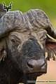 Kruger - Wildlife - Buffalo