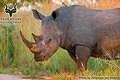Kruger - Wildlife - White Rhinoceros