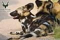 Kruger - Wildlife - Wild Dog