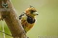 Mapungubwe - Bird - Crested Barbet