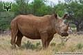 Mokala - Wildlife - White Rhinoceros