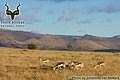 Mountain Zebra NP - Landscape - Mountains with Springbok