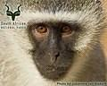 Mountain Zebra NP - Wildlife - Vervet Monkey
