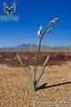 Richtersveld - Landscape - with Flower
