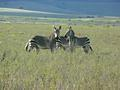 Zebra taken in Bontebok