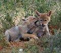 Jackal pups taken at Matyholweni, Addo