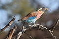 Lilac-breasted Roller with a Scorpion at Auob River in Kgalagadi by Willie Visagie