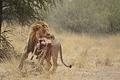 Male Lion with Eland Calf Kill at Samevloeiing Water Hole