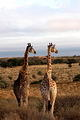 Two giraffes between Viertiende Boorgat and Dalkeith in Kgalagadi by Joc Wagner