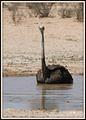 Female ostrich cooling down in water pool taken at Mata-Mata campsite