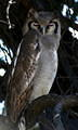 Verreaux's (giant) Eagle Owl