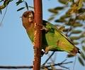 Brown-headed parrot photographed By Flip and Elmien Badenhorst at Shipandani Hide