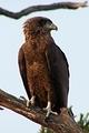 Brown Snake Eagle on the S114