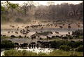 Buffalo Herd coming down to drink Crocodile River