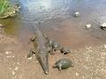 Croc and soldiers in Letaba by Martha Barnard