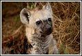 Hyena pup photographed by Linda Le Roux between Satara and Skukuza at Kruger Park