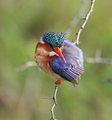 Malachite Kingfisher taken in Lake Panic