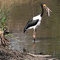 Saddlebilled Stork with fish dinner -Lower Sabie