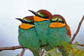 Three European Bee-eater squeezed against each other on a branch taken along H1-6 near Letaba Camp