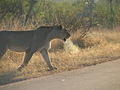 Lion stalking on the Lower Sabie Road