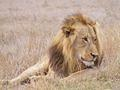 Male Lion on the Olifants Road