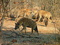 Hyenas at Giraffe carcass on Letaba River Loop