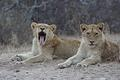 Lion cubs taken on  S70