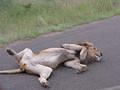 Lazy Lion taken on H1-4 near Ngotso Dam