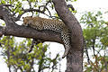 Leopard at Lower Sabie by Craig Rebro