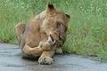 Lioness cleaning up after impala kill