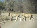 Lions crossing the road taken on the S41