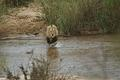 Male lion crossing the  Sabie River
