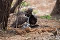 Martial Eagle with goose taken a few miles south of Shingwedzi just off the H1-6