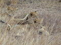 Lion cubs ready to play together taken on H1-3 between S125 and S126