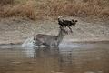 Waterbuck and a wild dog