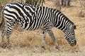 Zebra with unusual pattern at the road between Letaba and Mopani by Will Grimes
